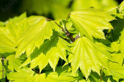 Fresh Japanese maple leaves in springtime, selective focus, (Acer shirasawanum aureum)