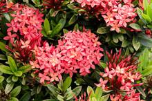 Bohol, Philippines August 1, 2013: Red Santan Flowers.