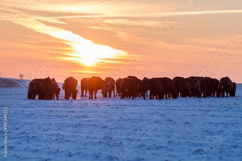 Fényképezés  Herd of wild bisons