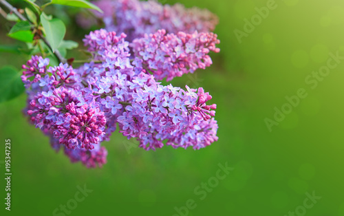 Fotobehang Lilac Lilac flowers isolated on green.