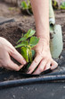 Planting strawberry seedling on spunbond