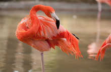 Close-up Of Flamingo Wading In Water.