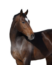 Portrait Of A Bay Horse Look Back Isolated On White Background