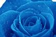 canvas print picture - macro de una rosa azul