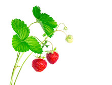 Strawberry Plant With Leaves A...
