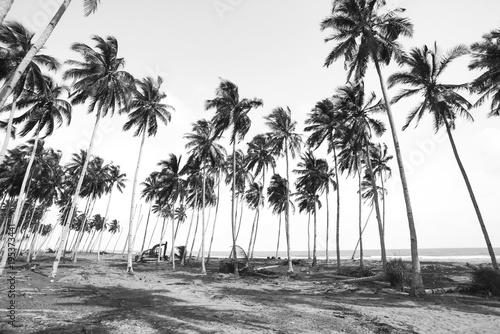 czarno-biale-palmy