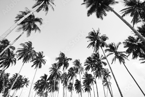 Coconut tree view in black and white with vintage effect.