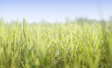 Green Field Of Closeup Blades Of Grass With Dew. Open Space With Blue Sky. Countryside View On A Farm In The Country.