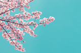Vintage style of Cherry blossom sakura in spring.Japan