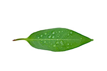 Green Leaf With Water Drops Is...