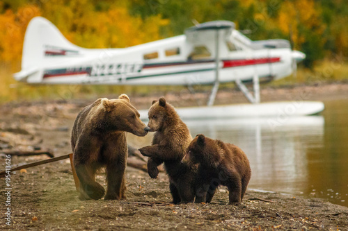 Photographie Mama bear walking with her two cubs on the beach of Naknak lake, Alaska