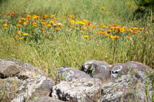 Lichen Covered Boulders In A M...
