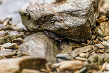 Crab Hiding Under A Rock