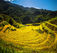 Rice Field And Rice Terrace In...