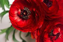 Deep Red Flower Head Closeup On White Background. Festive Summer Backdrop.