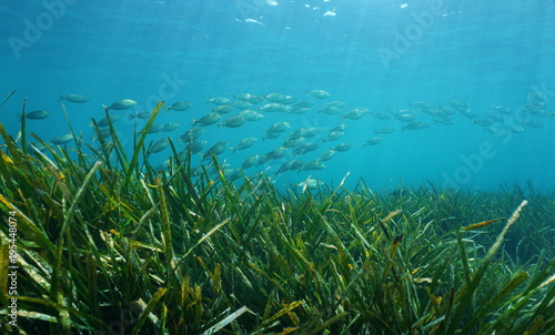Posidonia oceanica seagrass with a school of fish underwater in the Mediterranean sea, Catalonia, Llafranc, Costa Brava, Spain