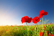 Beautiful poppy flowers on the field at sunset