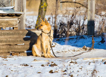 Dog On The Chain Near The House