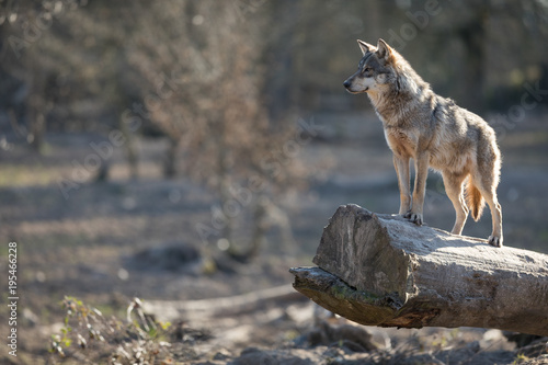 Spoed Fotobehang Wolf Grey Wolf Animal