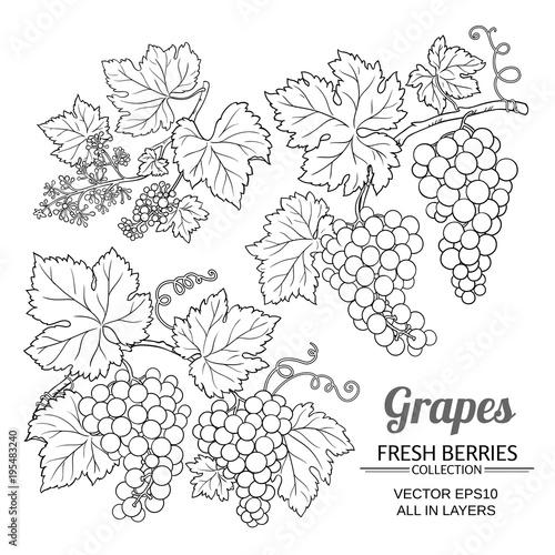 grapes vector set Fototapete