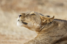 Lazy Lion Resting In Samburu N...