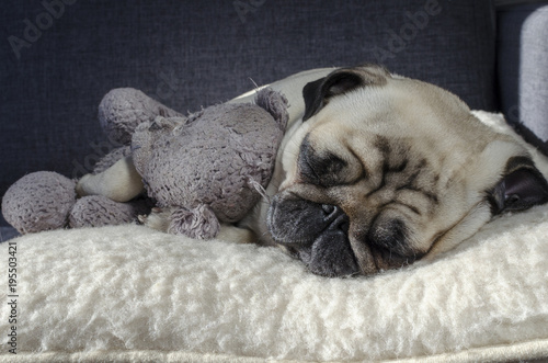 Fotografie, Obraz  cute small dog breed pug sleeping on the wool pillow and holding old toy bear