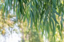 Eucalyptus Leaves. Branch Euca...