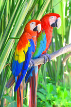 Two Bright Parrots Ara Sitting...