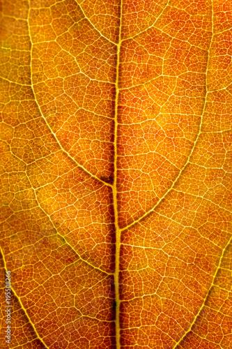 Foto  Foglia arancione controluce