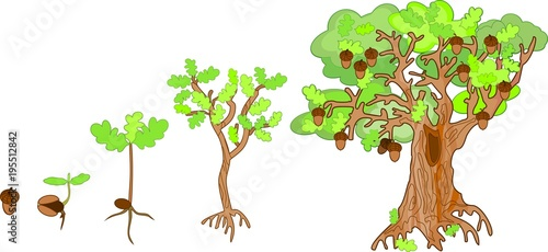 Oak life cycle. Plant growin from acorn to mature oak tree Wallpaper Mural