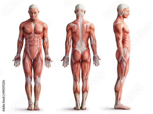 Photo anatomy, muscles