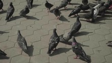 Flock Of Pigeons Near Hand Fee...