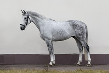 Grey Horse Isolated On Light Background, Exterior