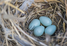 Nest Of Robin Eggs