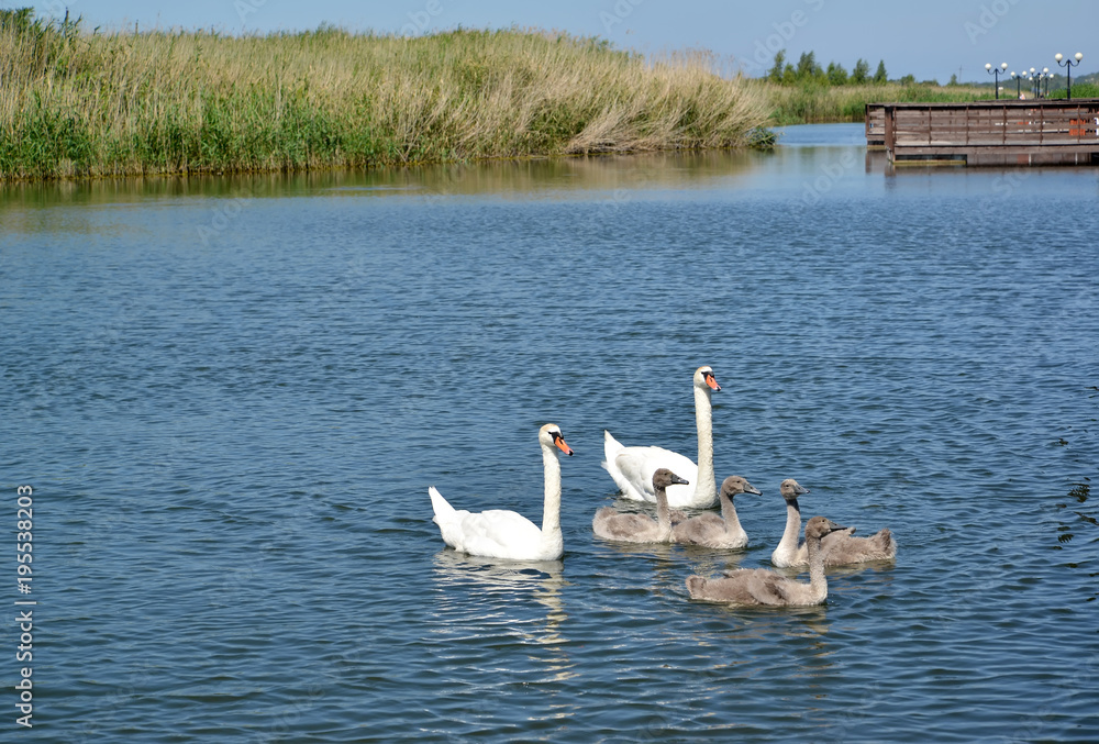 Swan family with baby birds in a lagoon of the Baltic Sea. Settlement Amber, Kaliningrad region