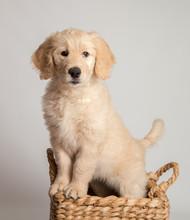 Golden Doodle Puppy Up On Basket