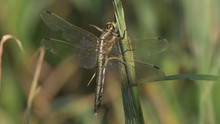 White-tailed Skimmer (Orthetru...