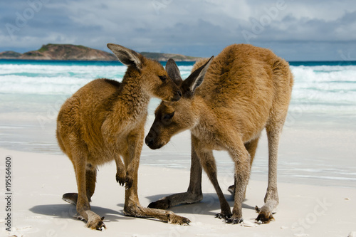 Kangaroos on Lucky Bay - Cape Le Grand National Park - Australia