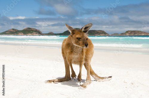 In de dag Kangoeroe Kangaroo on Lucky Bay - Cape Le Grand National Park - Australia