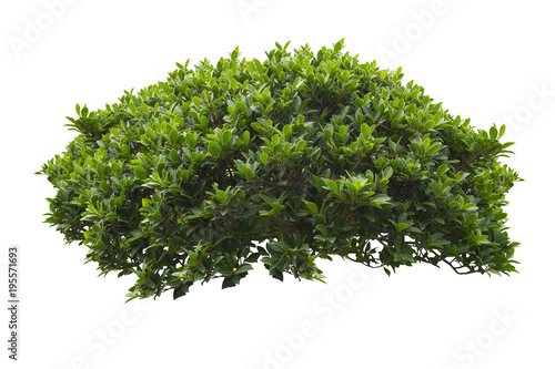 Stampa su Tela  green bush isolated on white background.