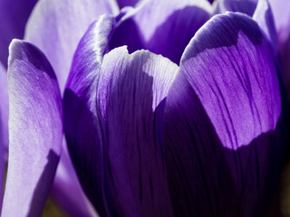 Obraz Macro shot of purple crocus flowers in full bloom