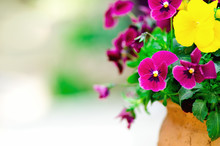 Yellow And Violet Pansies In Flower Pot In Garden. Copy Space. Spring And Summer Concept.