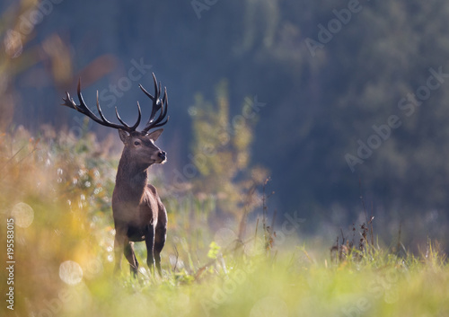 Fotobehang Hert Red deer in forest