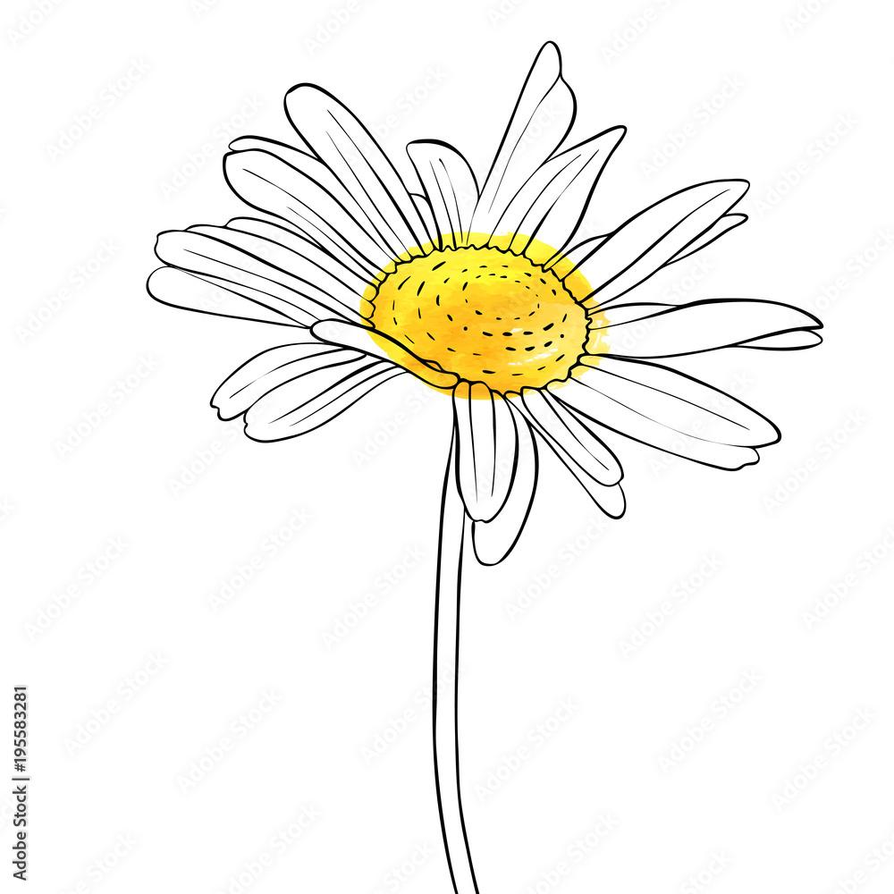 Fototapeta vector drawing flower of daisy