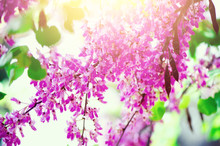 Blooming Judas Tree. Cercis Si...