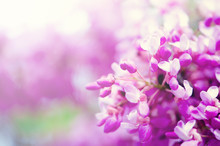 Macro Of Eastern Redbud Tree's. Blooming Judas Tree. Cercis Siliquastrum, Canadensis. Pink Flowers Banch. Summer And Spring Concept, Copy Space