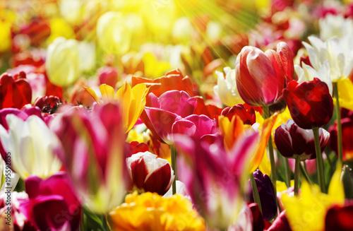 Deurstickers Tulp tulpen gelb rot licht strahlen