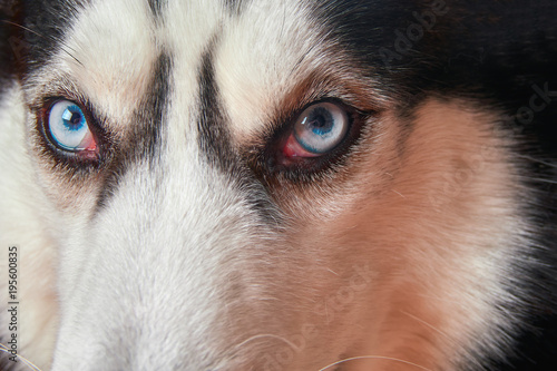 Muzzle Of Blue Eyed Siberian Husky Close Up Husky Dog Looks At