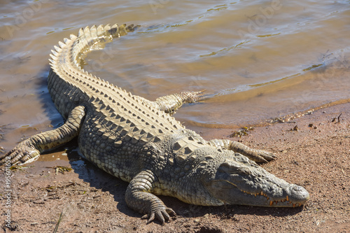 In de dag Krokodil crocodile resting on the banks of a dam