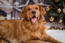 Golden Retriever Dog On New Ye...